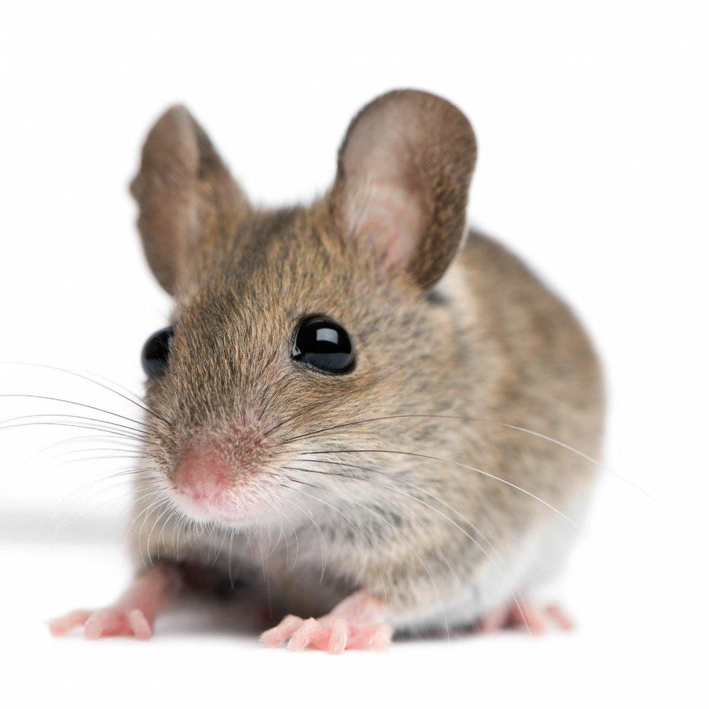 Detect Skadedyr står gerne til rådighed, hvis du har mus i dit hus ...